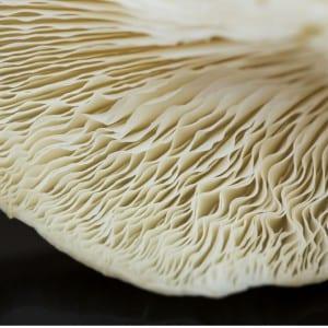 Frische Austerpilze in Bio Qualität